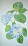 A FINE LARGE ORIGINAL WATERCOLOUR OF AN HYDRANGEA