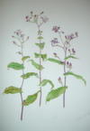 A FINE LARGE ORIGINAL WATERCOLOUR OF A TRICYRTIS, BY LORNA B. KELL