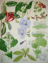SUPERB ORIGINAL WATERCOLOUR PAINTING - PLATE 122 FROM  WILD FLOWERS OF THE WORLD Featuring the Following European Species Thunbergia Grandiflora, Aeschynanthus Longiflorus and Phlogacanthus Guttatus