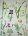 SUPERB ORIGINAL WATERCOLOUR PAINTING - PLATE 42 FROM  WILD FLOWERS OF THE WORLD Featuring the Following Mediterranean Species Iris Chamaeiris and Pancratium Maritimum