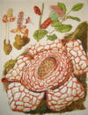 SUPERB ORIGINAL WATERCOLOUR PAINTING - PLATE 117 FROM  WILD FLOWERS OF THE WORLD Featuring the Following South East Asian Species Rafflesia and Lepeostegeres Beccarii