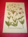 ORIGINAL COLOURED ENGRAVING - Lychnis vaccaria etc. - Plate No. 684 from Phytanthoza Iconographia